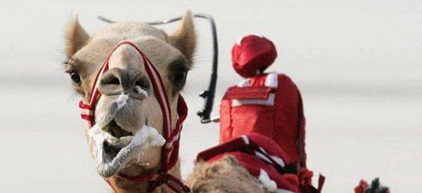 Honteux : Les courses de chameaux avec jockeys robotisés au Quatar