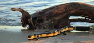 Un robot sur le modèle animal de la Salamandre qui nage et qui marche